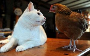 cat n chickens