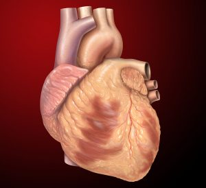 1024px-Heart_anterior_exterior_view